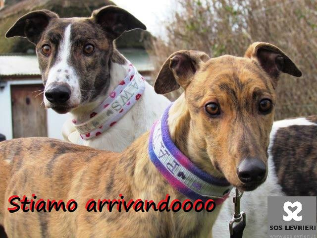 arrivo_greyhound_lurcher