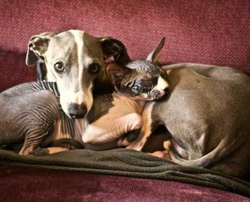 Greyhound e il gatto