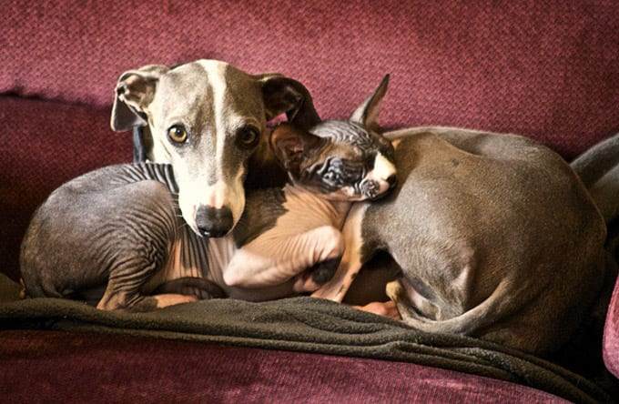 Greyhound e il gatto