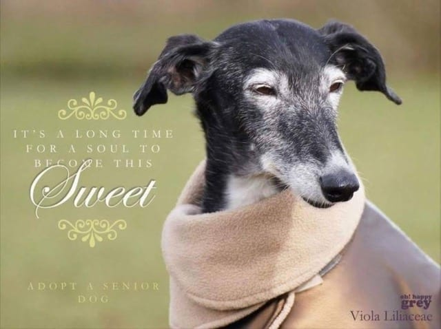 soslevrieri_greyhound_sweet