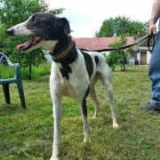 Eccles - Greyhound