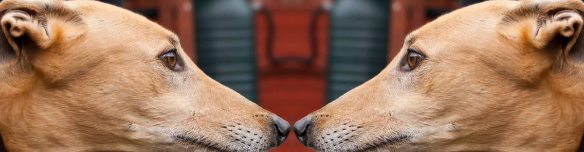 greyhound sos levrieri