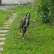 Olive - Greyhound