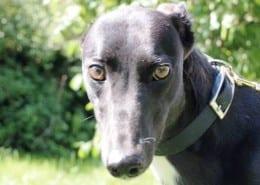 Poppy - Greyhound