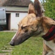 Rico - Greyhound