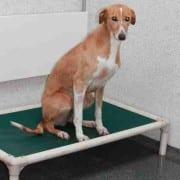 Rupert - Greyhound