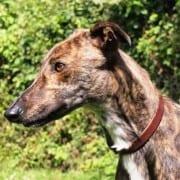 Zoe - Greyhound