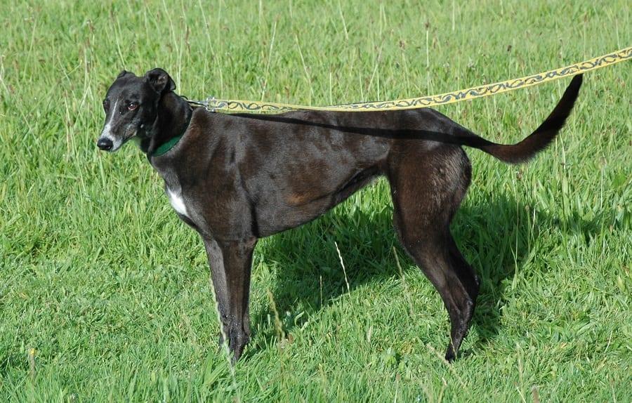Jeanie - Esemplare di Greyhound