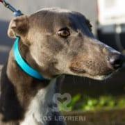Bluey - Greyhound