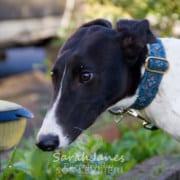 Dazzle - Greyhound