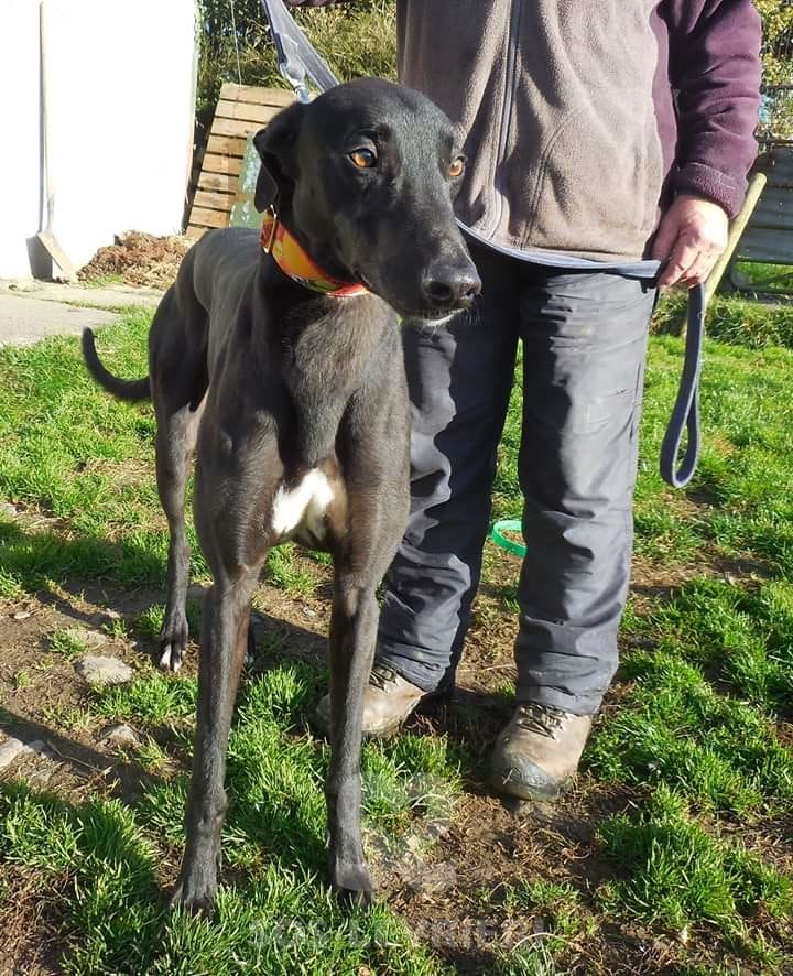 Jacko - Greyhound
