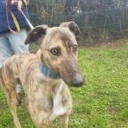 Sybil - Greyhound