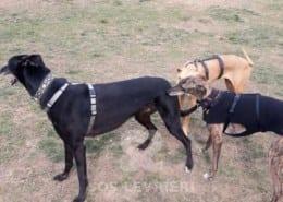 Bolt - Greyhound
