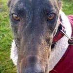 Lilibeth - Greyhound