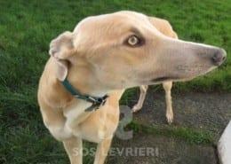 Simba - Greyhound