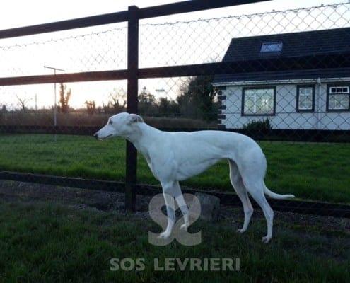Biddy - Greyhound