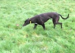Buzz - Greyhound