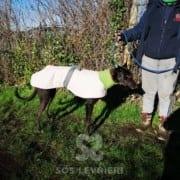 Claus - Greyhound