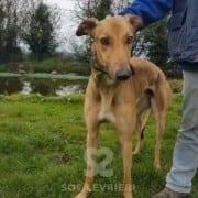 Duncan - Greyhound