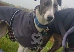 Gwyneth - Greyhound