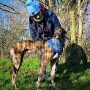 Hugo - Greyhound