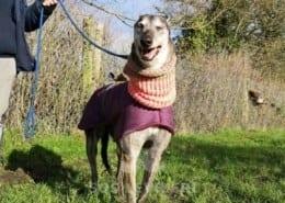 Jade - Greyhound