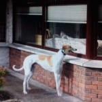 James - Greyhound