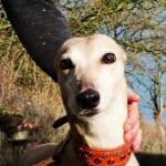 Maud - Greyhound