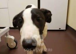 Ockey - Greyhound