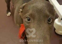 Tyler - Greyhound