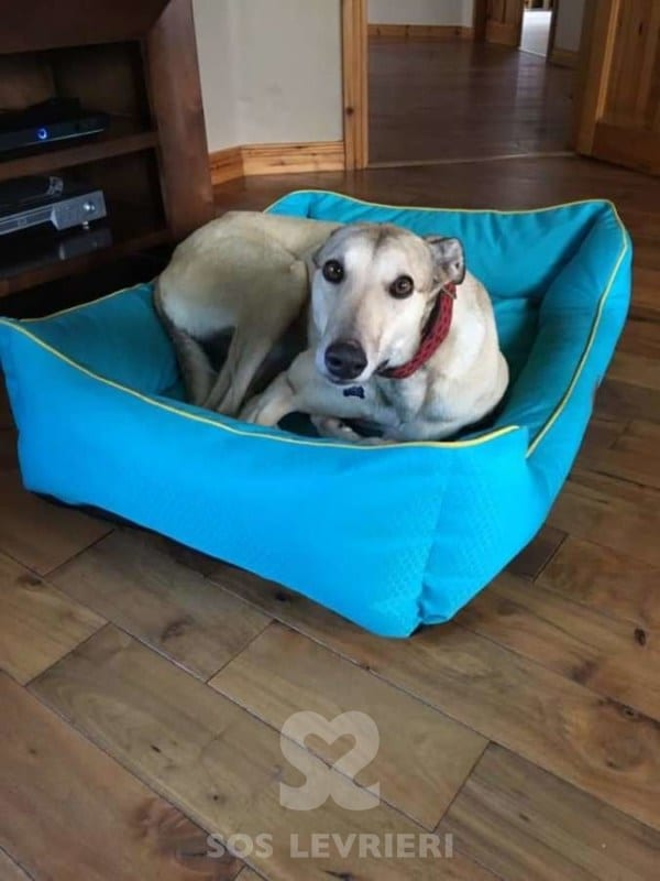 Hannah - Greyhound