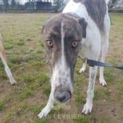 Quinn - Greyhound