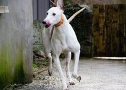 Alice - Greyhound