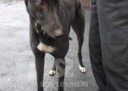 Conn - Greyhound