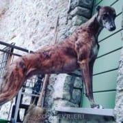 Jagher - Greyhound
