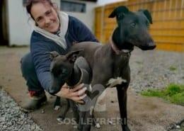 Kevin - Greyhound