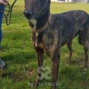 Lois - Greyhound