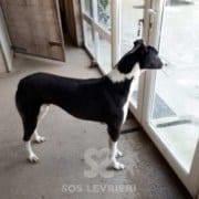 Tommy - Greyhound