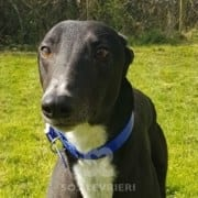 Merlin - Greyhound