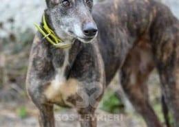 Rooska - Greyhound