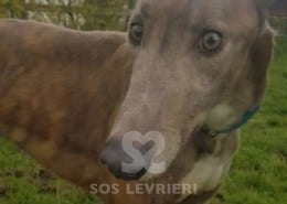 Seamie - Greyhound