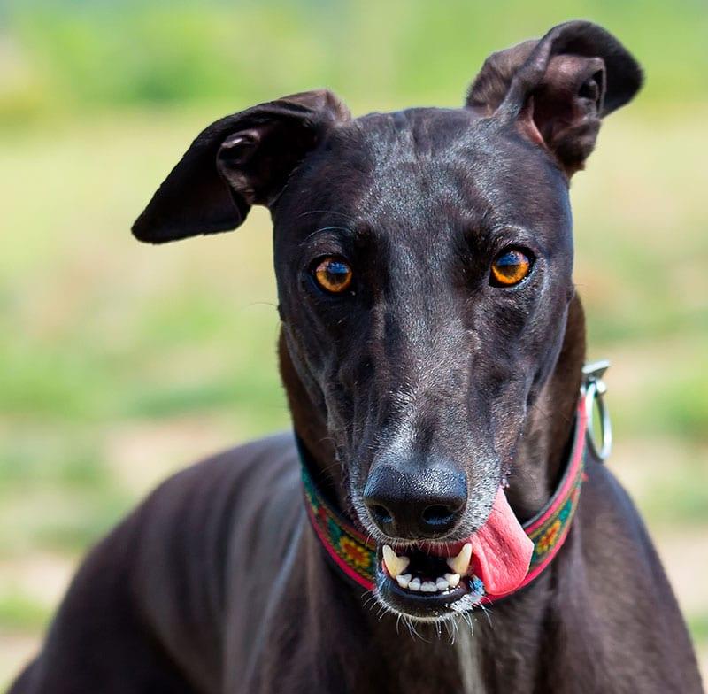 Arrivo Galgo e Greyhound – 4 Maggio 2019