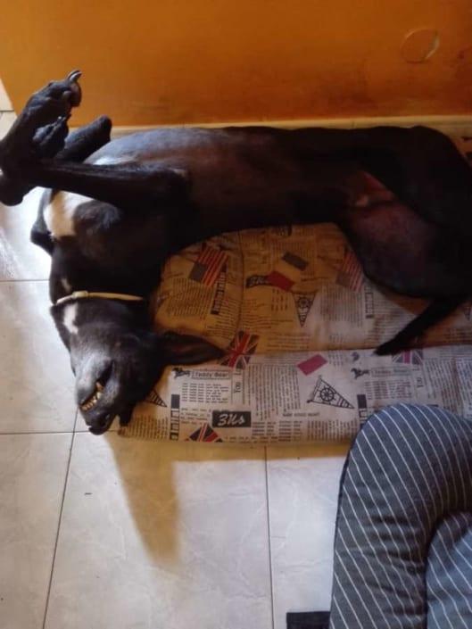 Bolt Greyhound nato per vivere