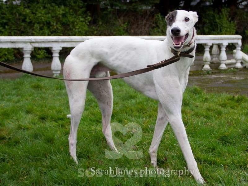 Dan-Greyhound
