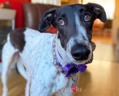Paddy 2 Greyhound