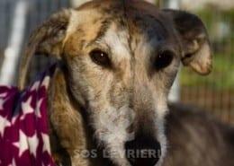 Polly Lurcher Greyhound