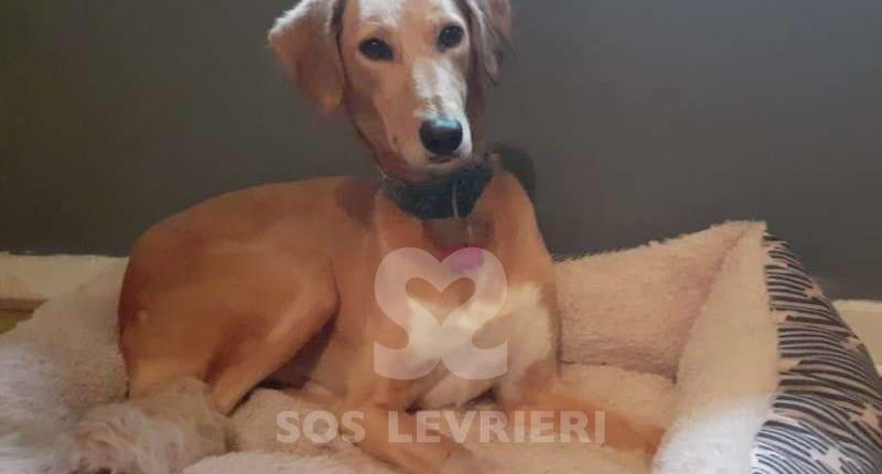 Skye-Saluki-Greyhound