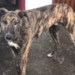 Artell Greyhound