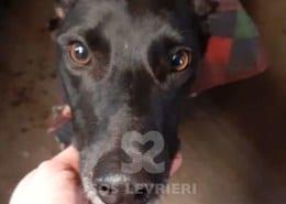 Ash Greyhound Levriero in adozione