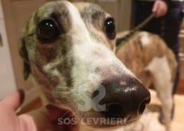 Becky Greyhound Levriero in adozione